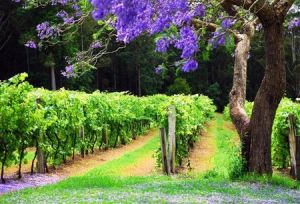 Bago Vineyards - Accommodation Mooloolaba
