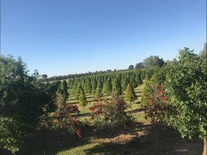 Rutherglen Christmas Trees Farm Stay - Accommodation Mooloolaba