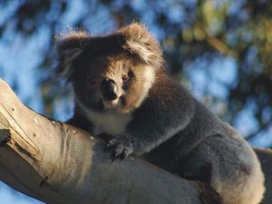 Bimbi Park Camping Under Koalas - Accommodation Mooloolaba